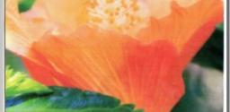 Postcard Series 13: Hibiscus